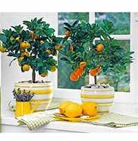 Комнатные растения лимон
