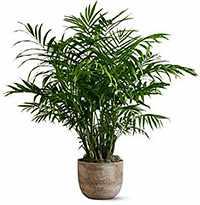 Комнатные растения Хамедорея