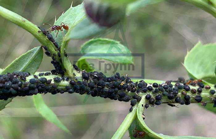 Тля и муравьи на растении фото