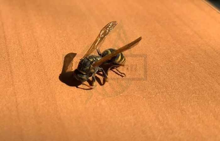 Насекомые на даче - осы