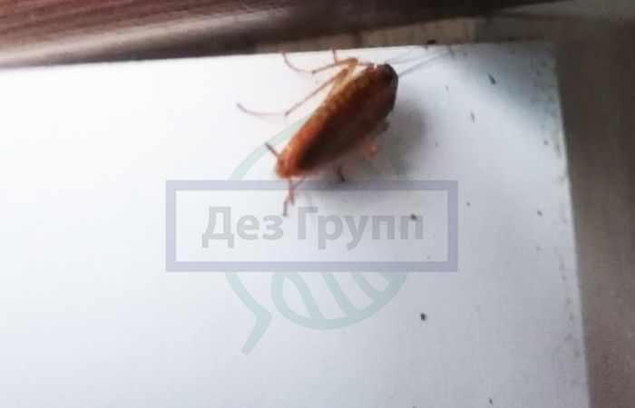 Какие могут быть насекомые в квартире - тараканы