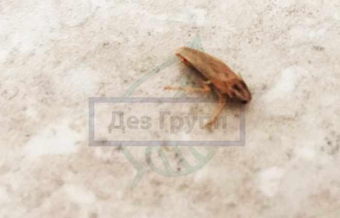 Таракан прусак фото