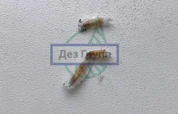 Как выглядит пищевая моль (личинки) видно на фото.