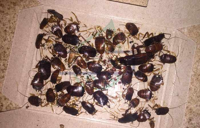 Сколько яиц откладывает таракан - личинки могут достигать до 48 штук