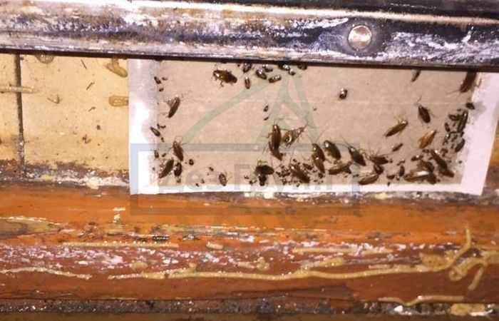 Личинки тараканов домашних