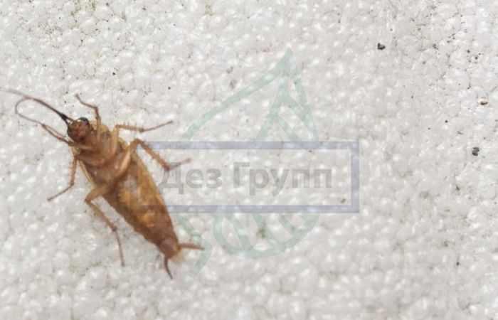 Виды домашних тараканов: фото и описание