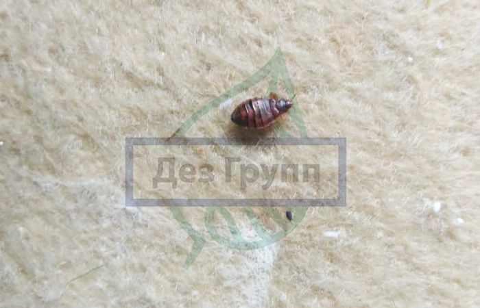 Клопы - как выглядя и как избавиться от надоедливых насекомых