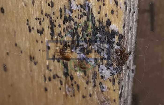 Что будут делать клопы, если покинуть дом на несколько дней - в квартире останутся личинки