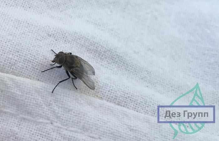 Личинка овода похожа на гусеницу