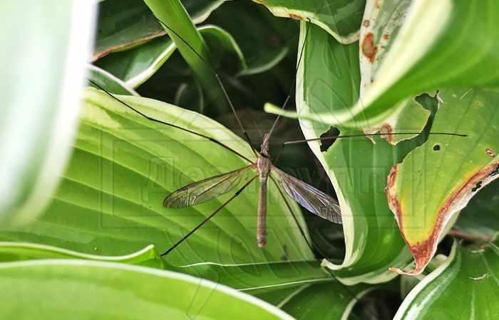 На фото взрослый комар-долгоножка