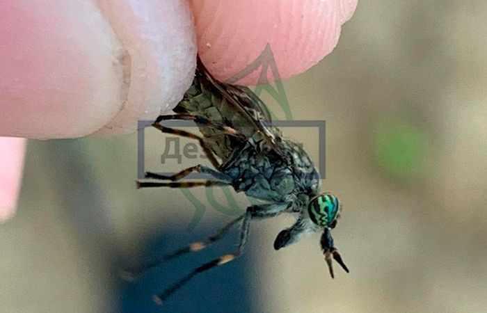 Фотография насекомого овода