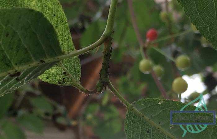 борьба с вредителями сада осенью - тля