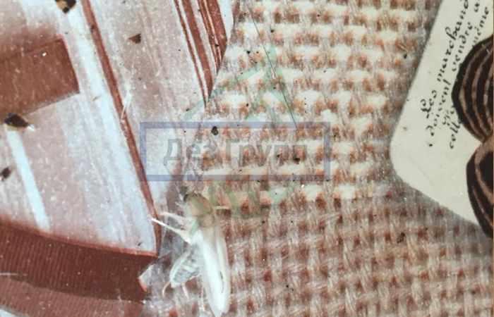 Белый таракан фото