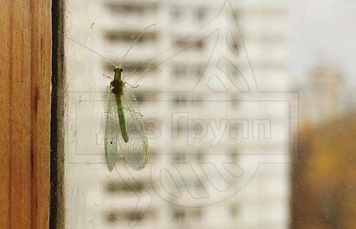 Фото зеленой мошки с прозрачными крыльями в квартире