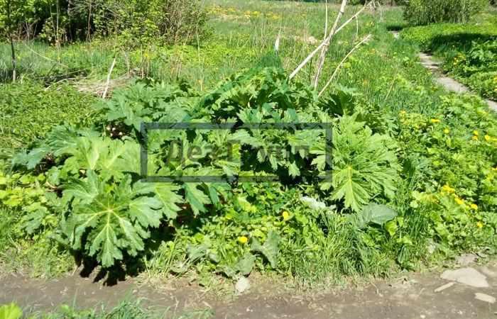 Борщевик Мантегацци - фотография растения