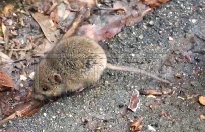 Мышь-полевка на фото