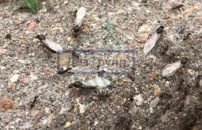 Муравьи с крыльями - фото насекомых