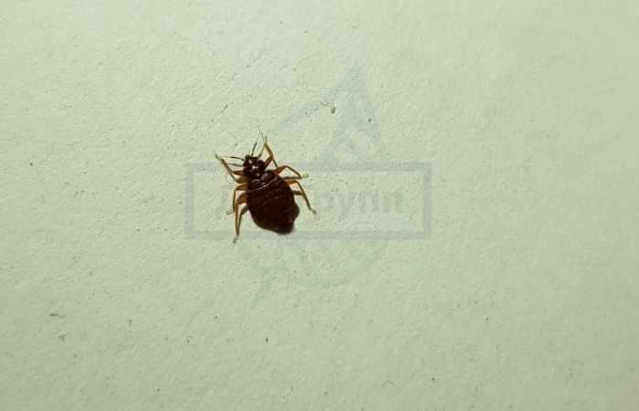 Кровососущие насекомые в квартире -клопы