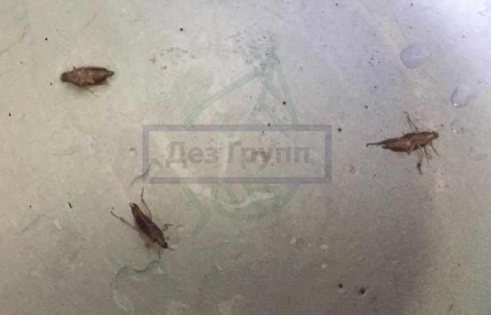 Разновидности тараканов: фото