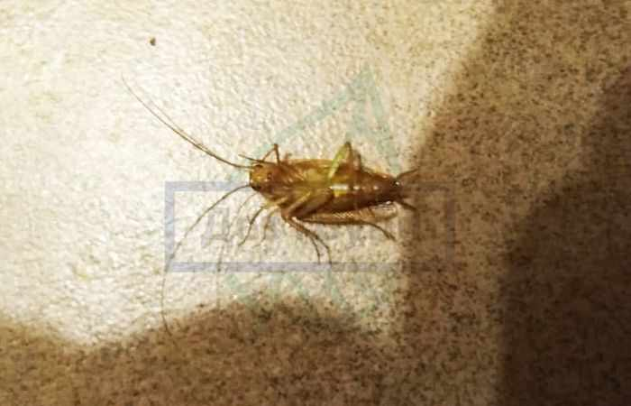 Почему тараканы кусаются