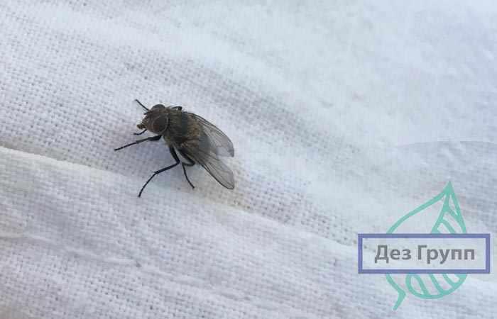 Насекомые в квартире виды фото- мухи