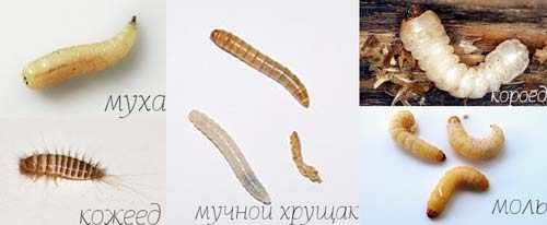 Червячки в квартире: фото личинок различных насекомых