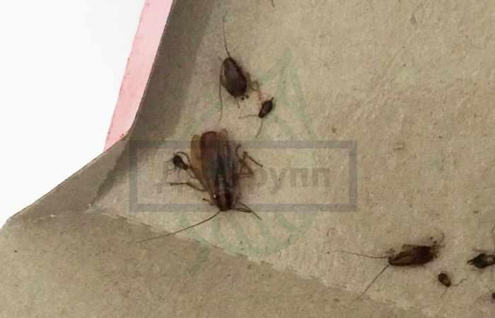 Отрава от тараканов в домашних условиях