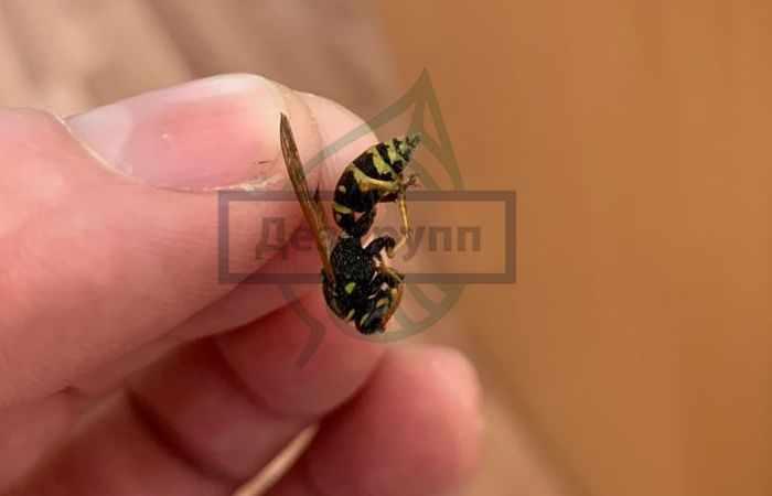 Насекомые в квартире виды фото - осы