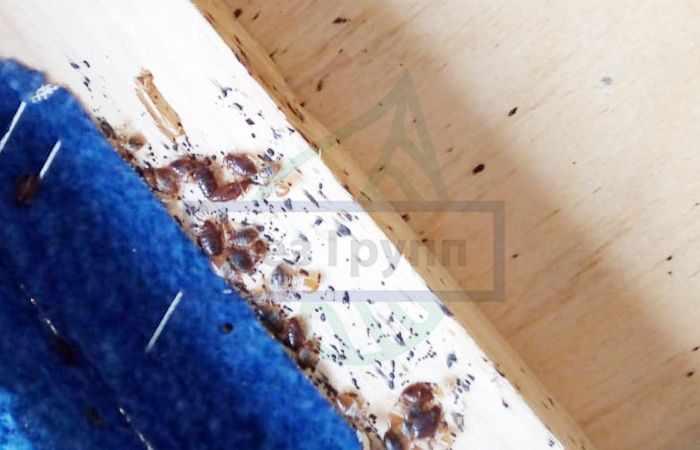 Постельные клопы - фото насекомых в диване