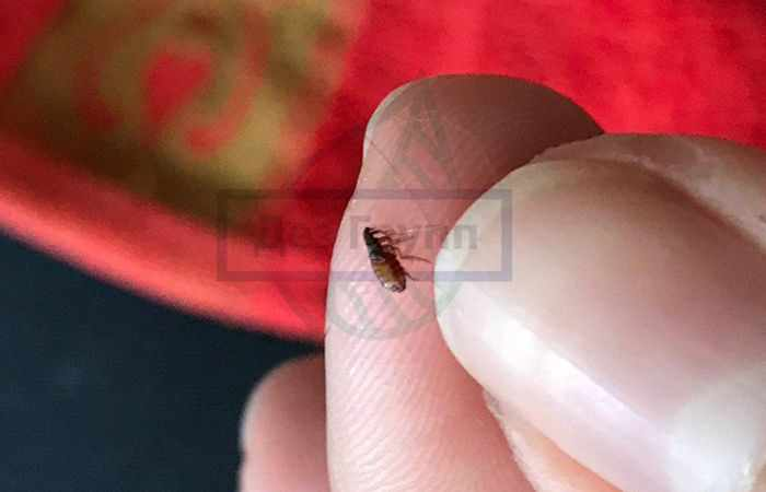 Кровососущие насекомые в квартире - блохи