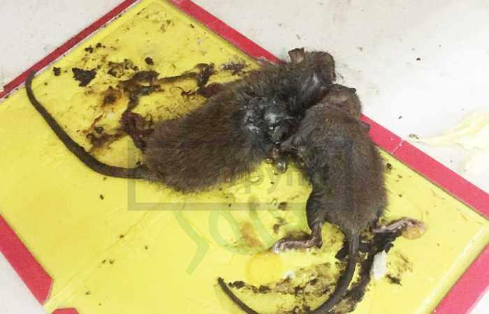 Дератизация жилых помещений от крыс и грызунов
