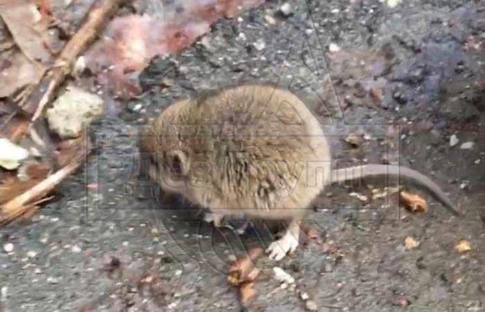 Частые причины появления мышей в доме