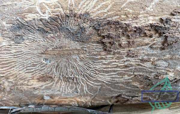 Как избавиться от короеда в деревянном доме: результативные способы уничтожения