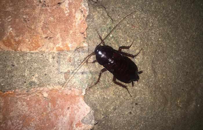 Большой черный таракан в квартире