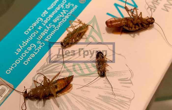 Уничтожение тараканов-прусаков в городе Люберцы