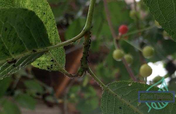 Борьба с тлей на садовом участке: какие проблемы могут быть вызваны появлением насекомых на деревьях