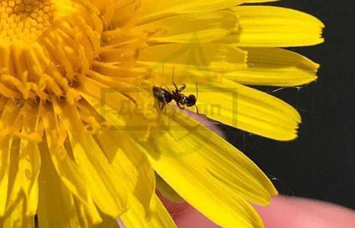 Средство против муравьев в квартире -на фото муравей
