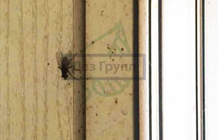 Насекомые в квартире - муха