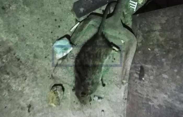 Борьба с крысами в частном доме - как уничтожить крыс