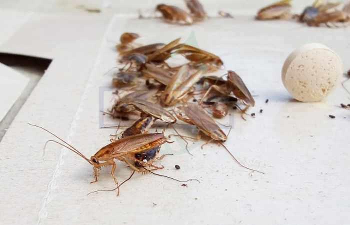 Какие болезни переносят тараканы, опасные для человека