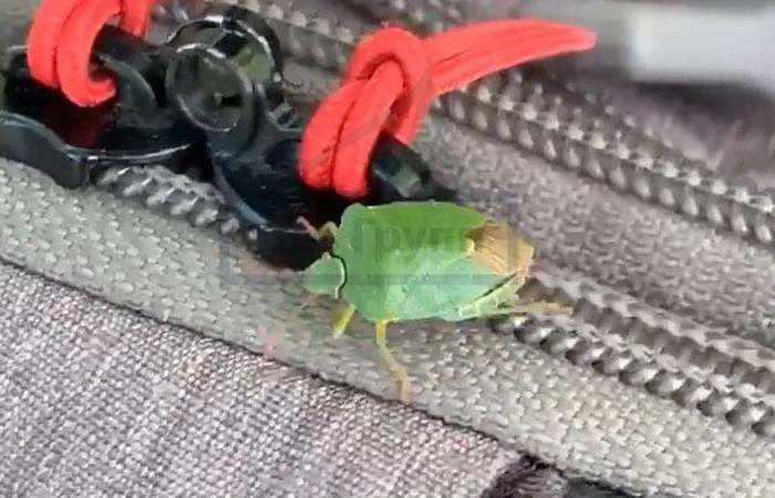 На фото древесный зелёный щитник