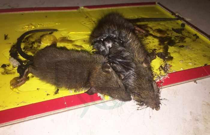 Чего боятся крысы народные средства