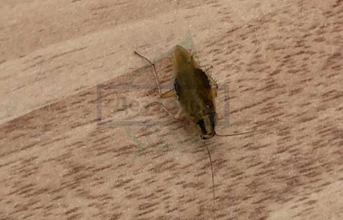 Уничтожение тараканов - прусаков