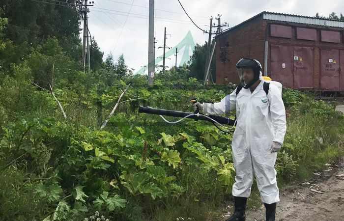 Обработка борщевика гербицидами