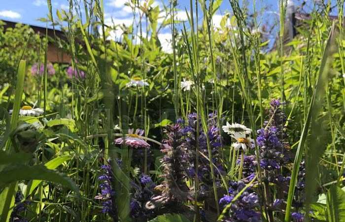 Растения и травы - аптечная ромашка