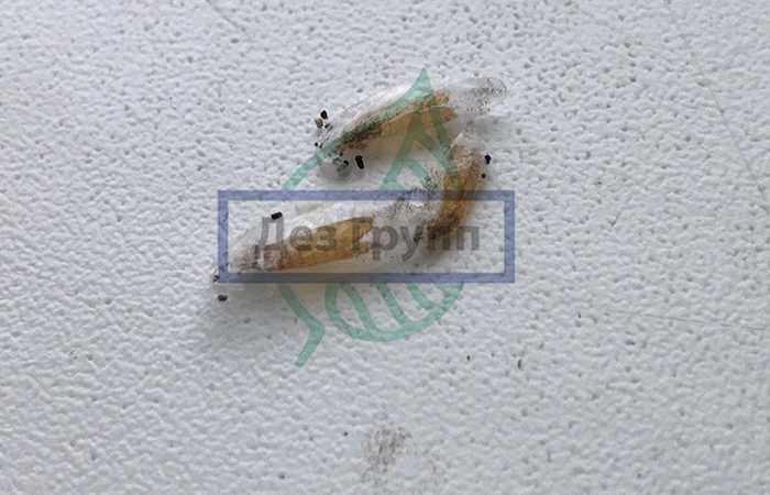 Личинка платяной моли в коконе