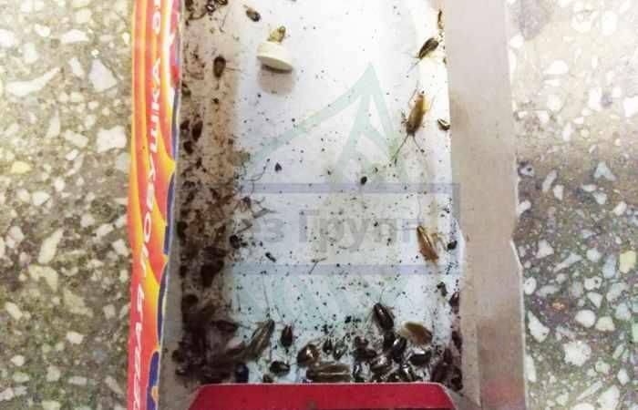 Большие черные тараканы в квартире: как избавиться?