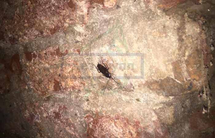 Черный таракан фото
