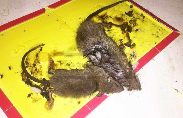 Крыса вылезла из унитаза: что делать