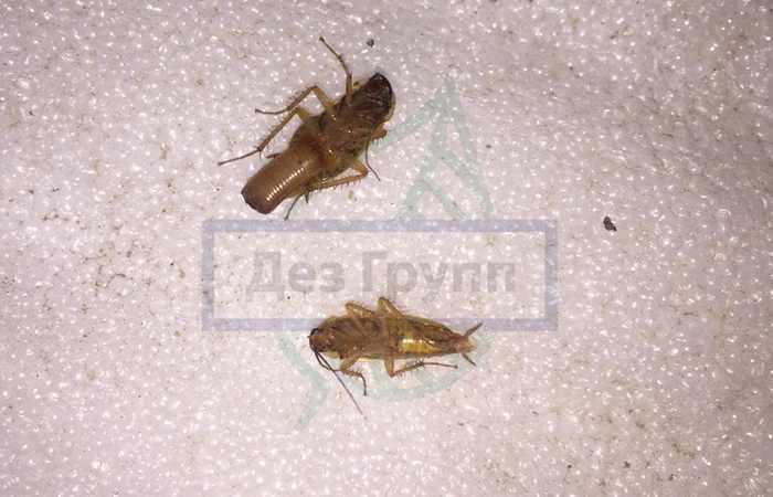 Как выглядят яйца тараканов - на фото оотека тараканов
